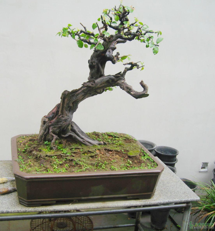 开价15000元的榆树盆景,和开价6000元的雀梅盆景,还有