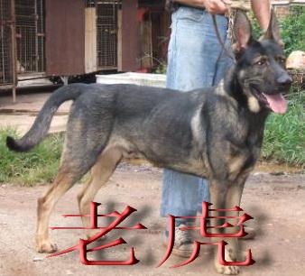 昆明犬----狼朗!|『 家有宠物 』 - 慈溪论坛