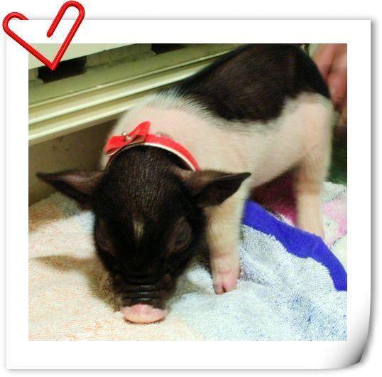 免费送迷你小香猪,有图片,不要钱,只请爱护它