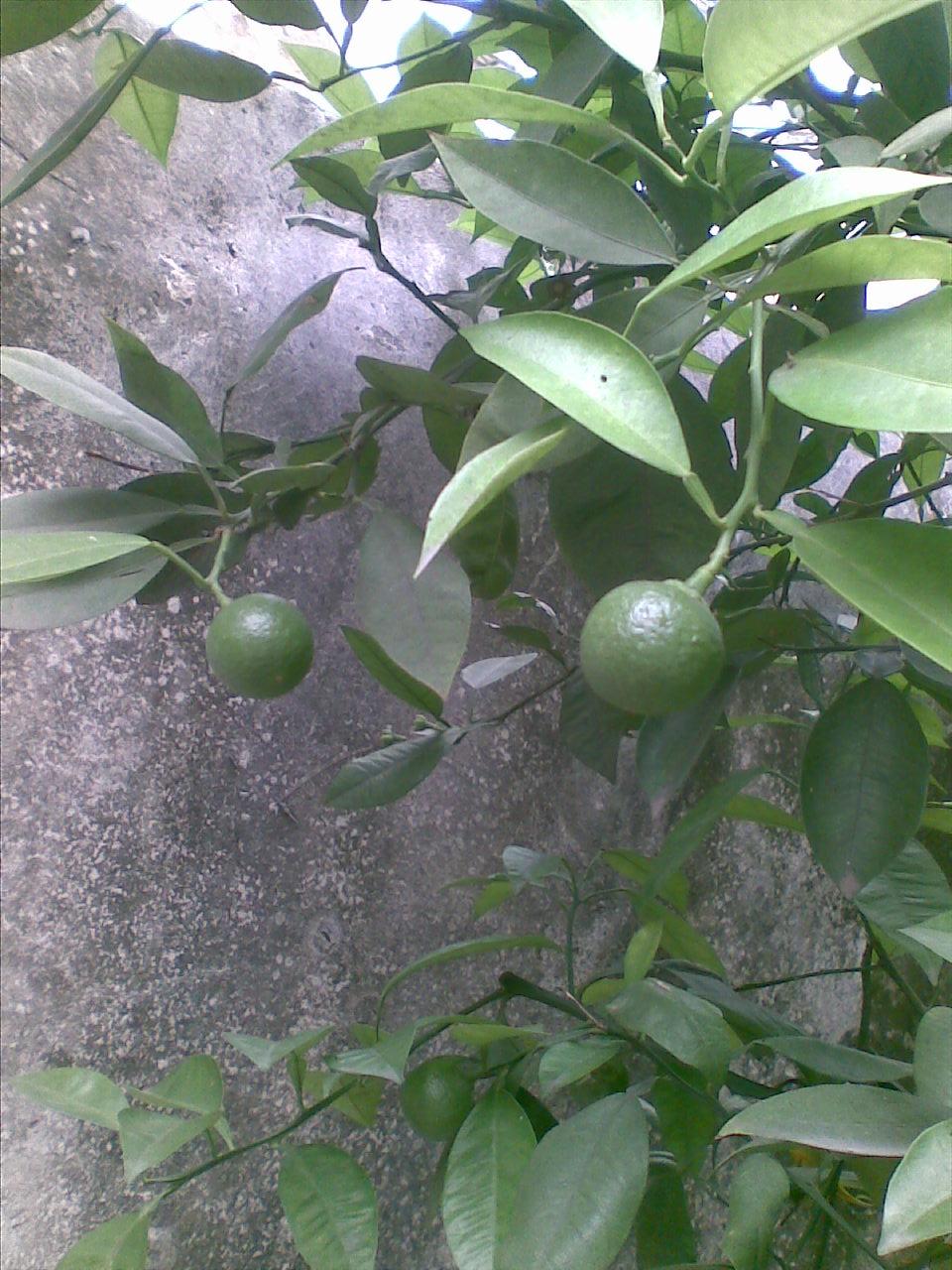出售自家的桂花树和枸橘树各一棵(有图)