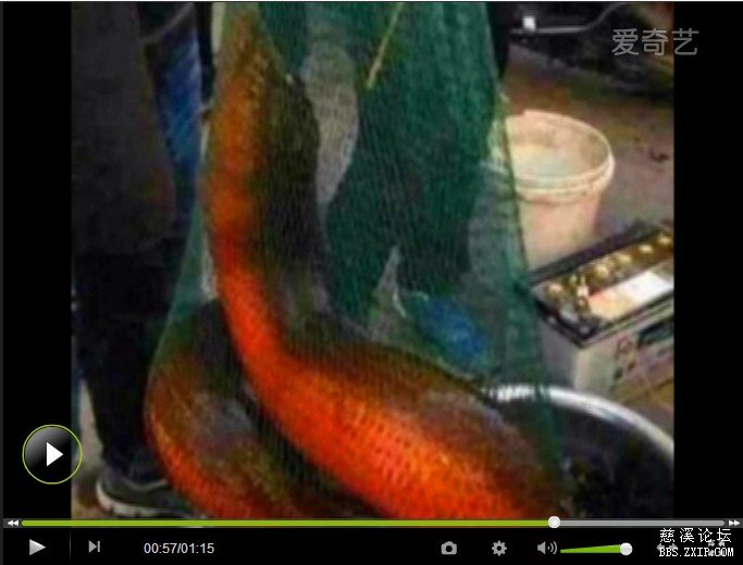 湖州渔民捕获史上最大黄鳝36斤