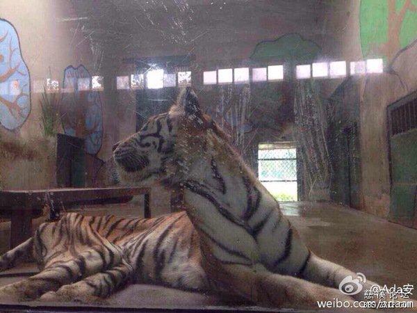 这是大老虎吗 不敢认了,看看