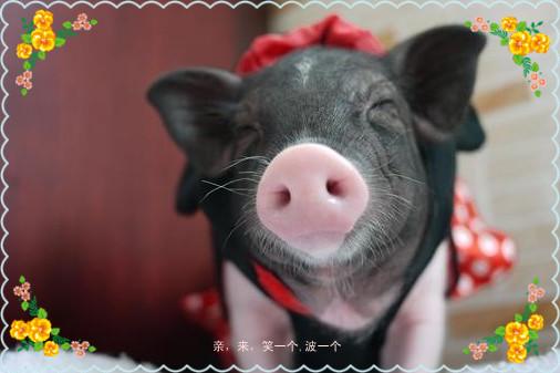 宁波戚家品牌宠物小香猪宝宝,宠物猪迷你猪,萌死你!