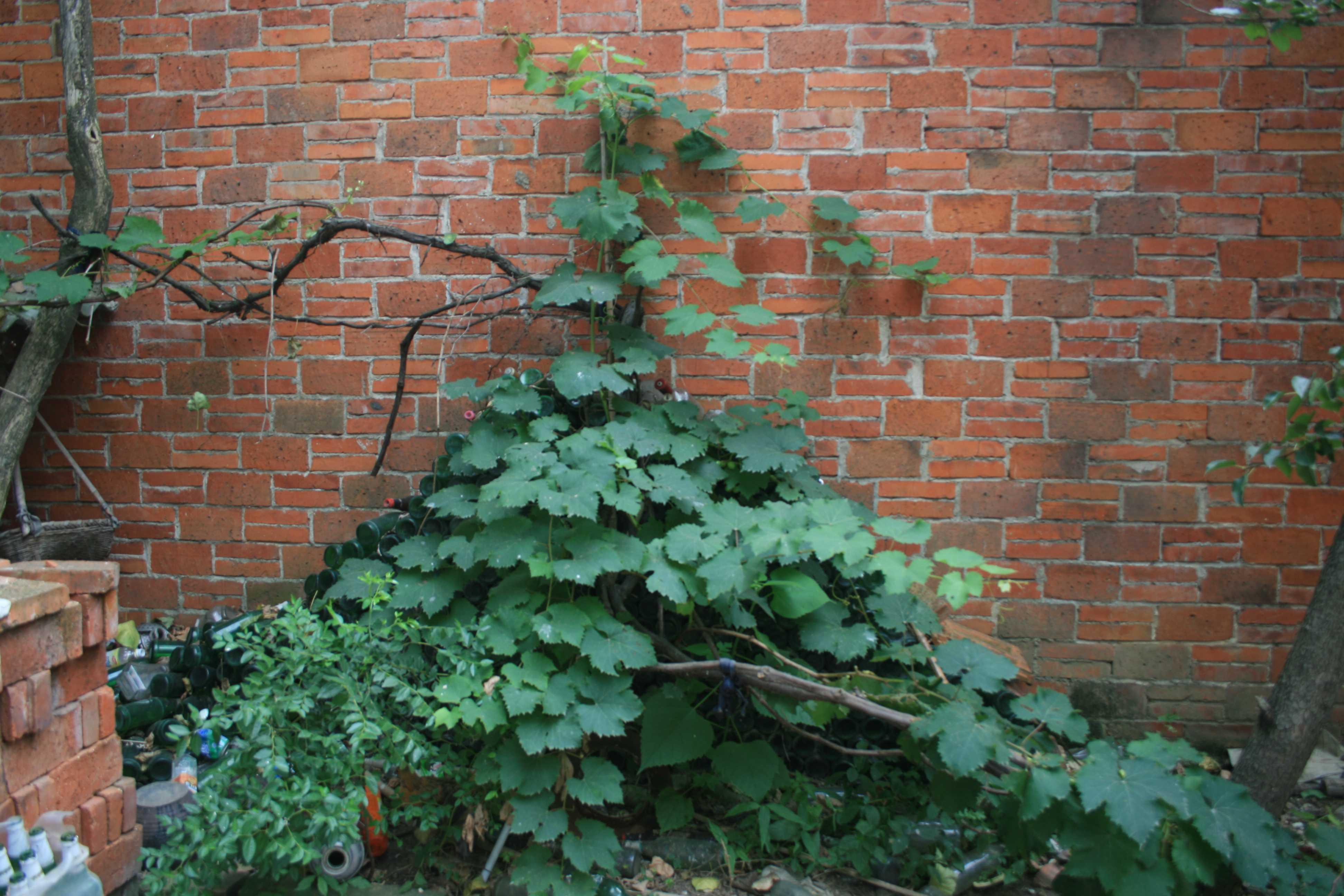 庭院葡萄树修剪技术 庭院葡萄的管理方法