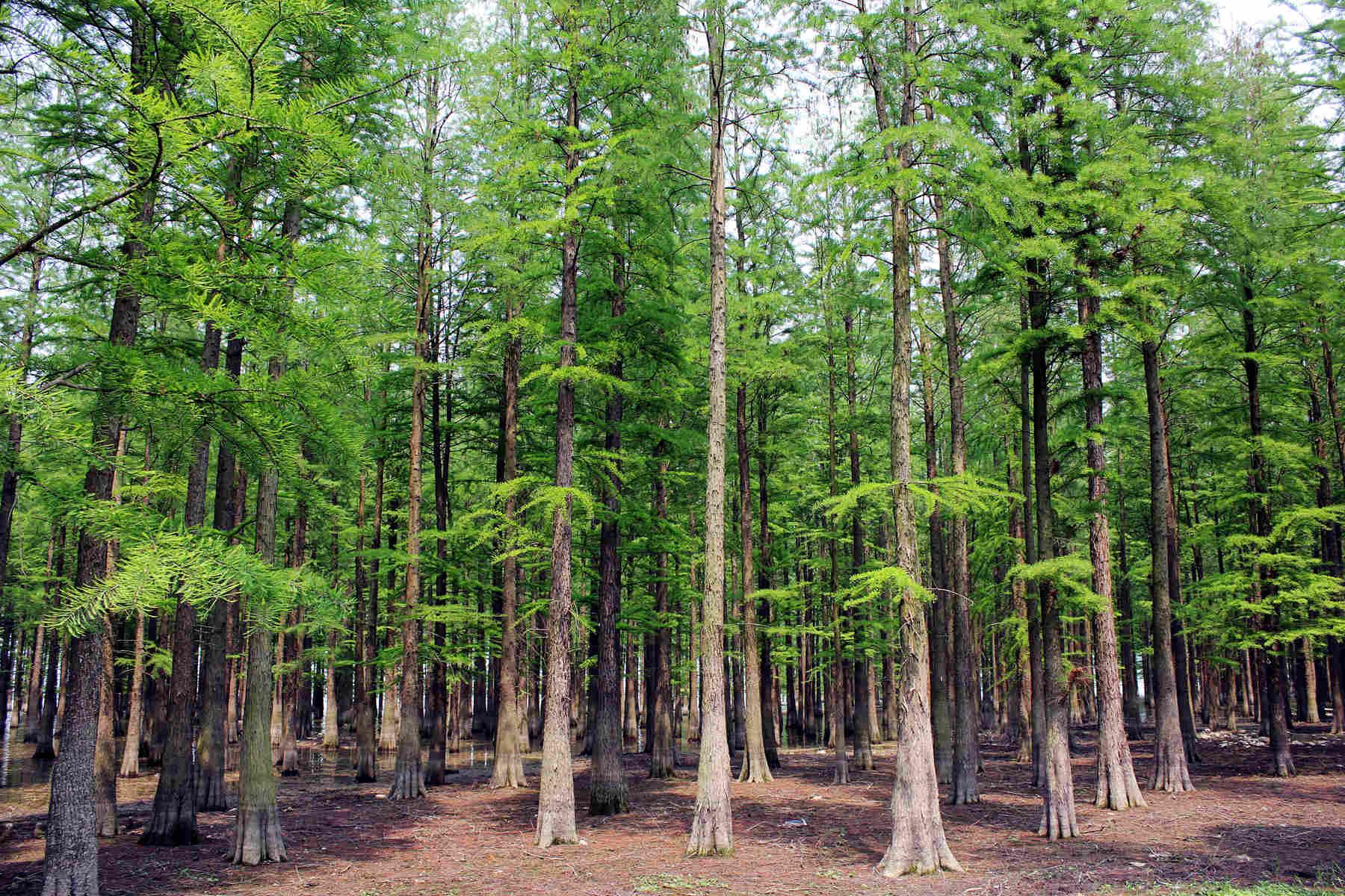 深圳洪湖公园水杉树