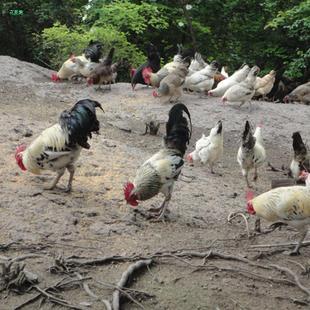 跟团买鸡啦——鹊山鸡