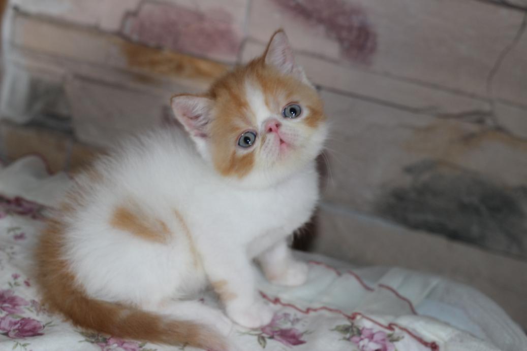 加菲猫宝宝出售