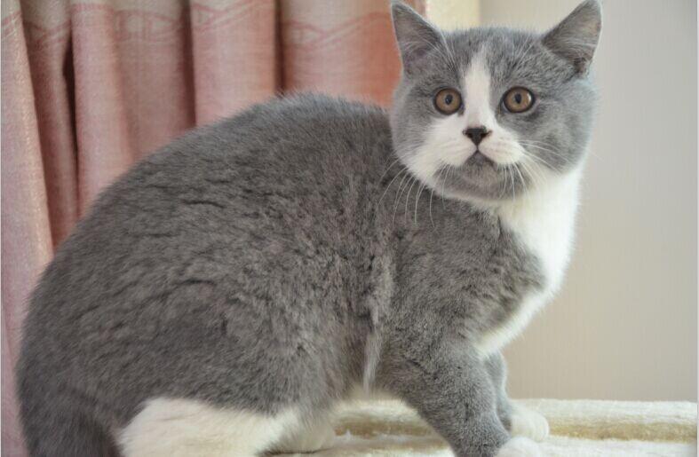 出售加菲猫和蓝白英短