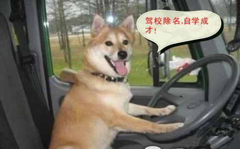 可爱动物开车大笑图片